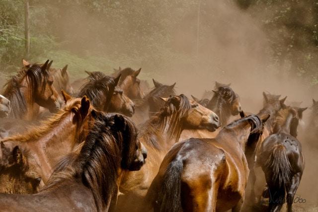 Rapa das Bestas de Sabucedo. Fiestas en Rias Baixas