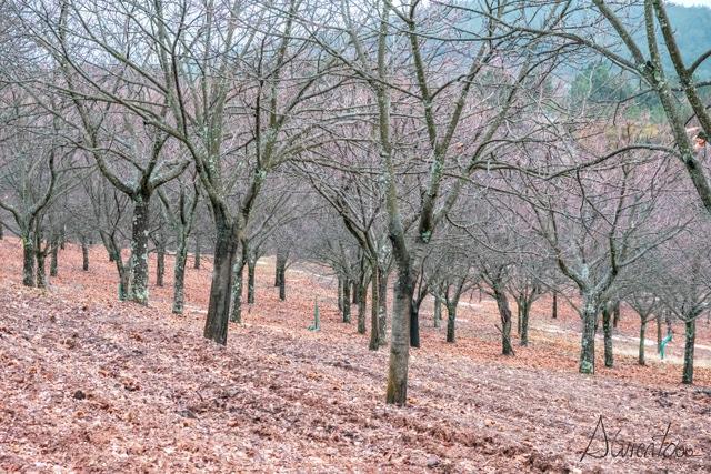 Parque natural de Montesinho con castaños