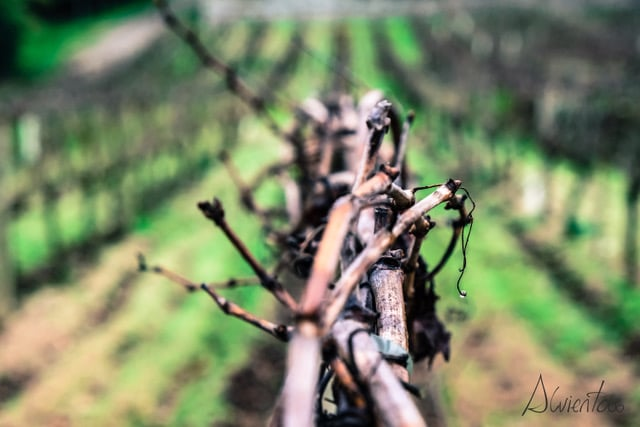 vinos de O Ribeiro