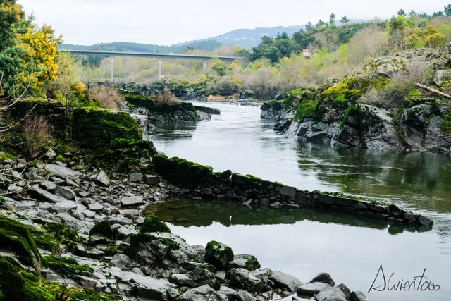 rio miño y la lamprea
