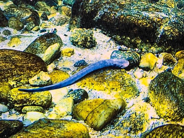 foto de lamprea