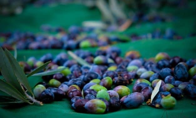 Ruta del aceite de oliva en Beira Baixa