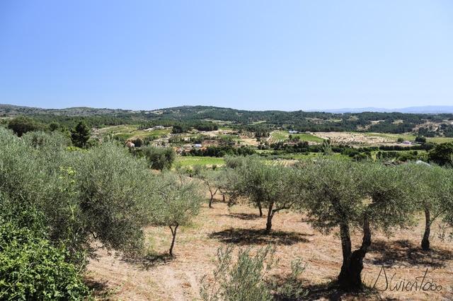 Olivos en Portugal