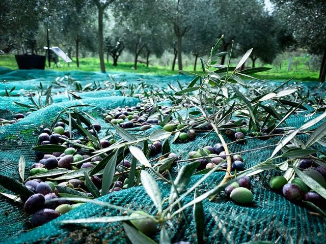 olivos en Galicia