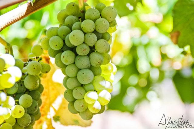 uvas en Galicia para vino